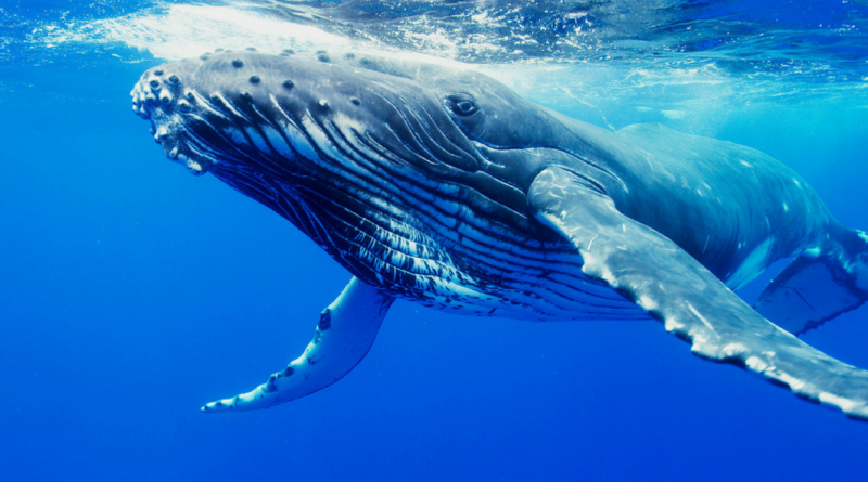 Humpback Whale_ Is This Baby Humback Whale Whispering To His Mom!_