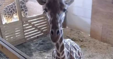 April' the giraffe